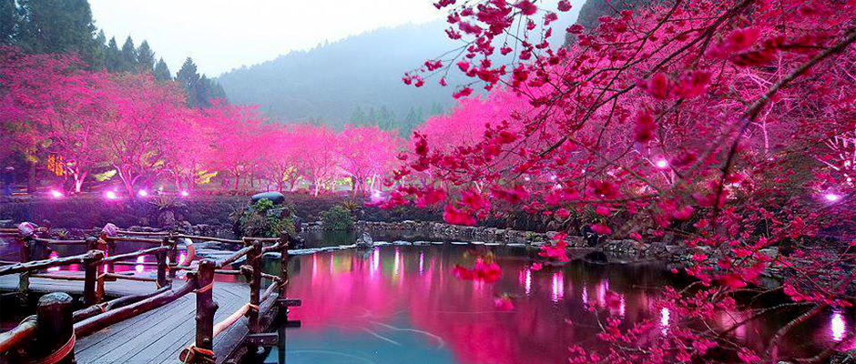 Les cerisiers du Japon